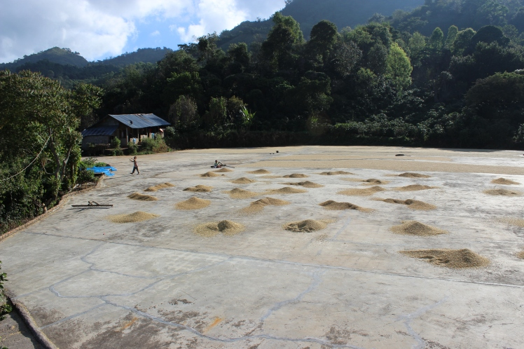 Doi Chang Coffee Farm - coffee beans drying in the sun.