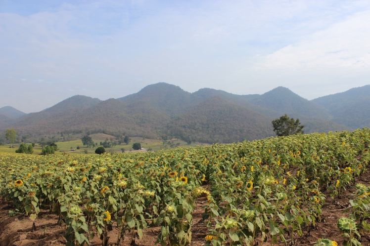 Dok Kham Tai sunflower field.